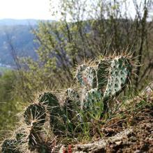 Kaktus am Roßbacher Häubchen