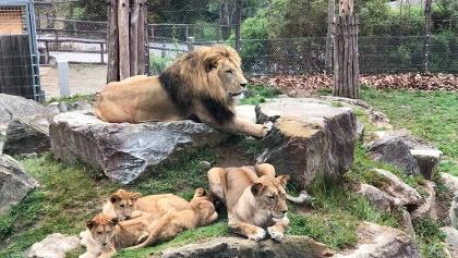 Löwenfamilie - Tierwelt Herberstein