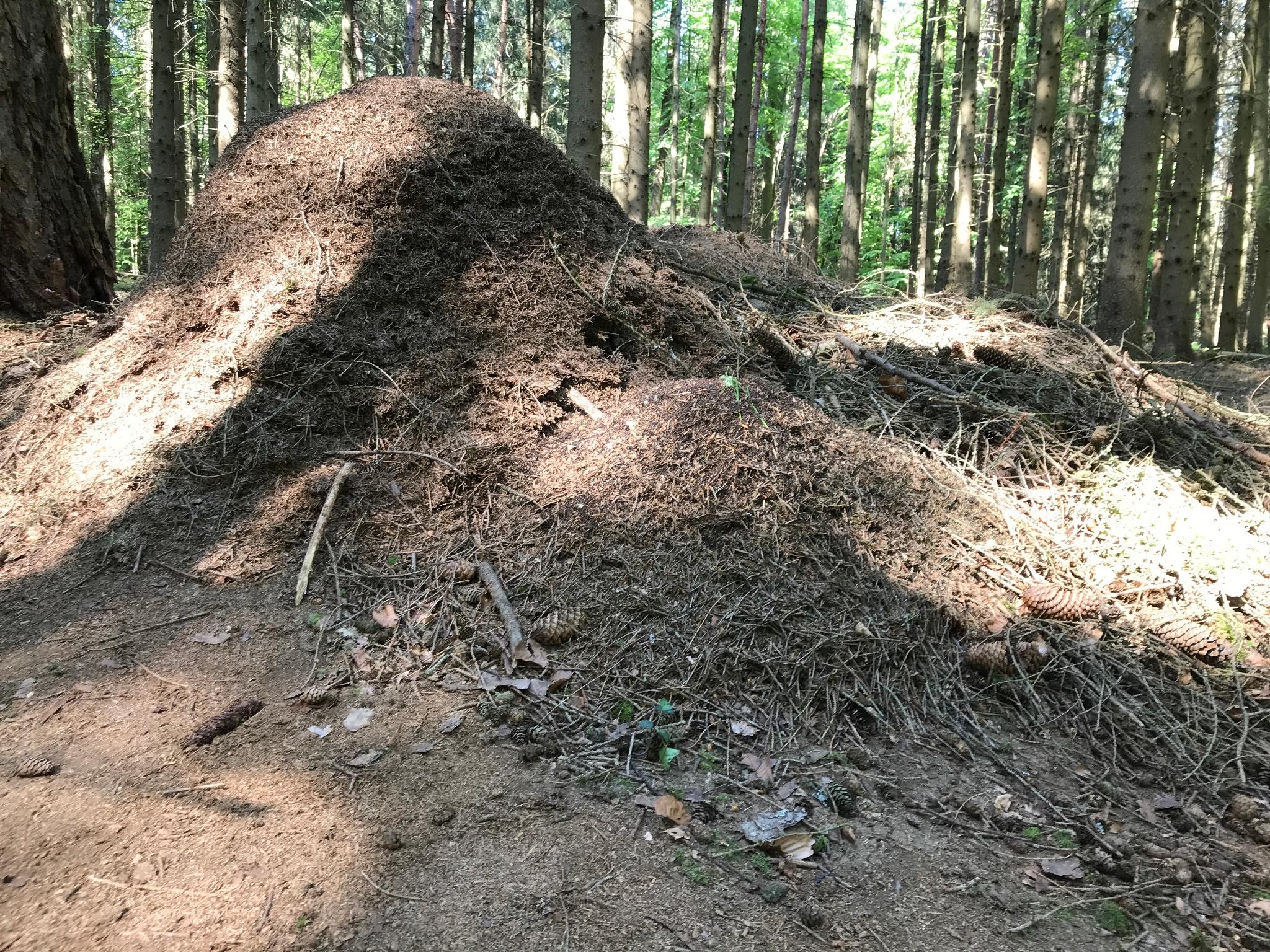 Ameinenhügel - Ameisenpfad Allensbach