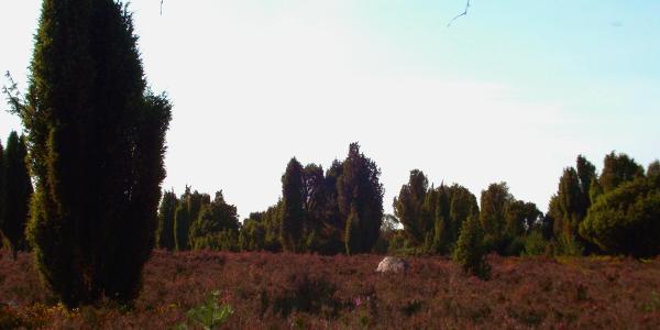 Wacholderbäume am Fuß des Wilseder Bergs.