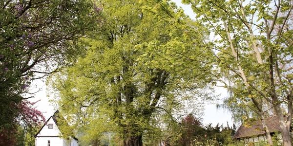1.000-jährige Linde in Elbrinxen