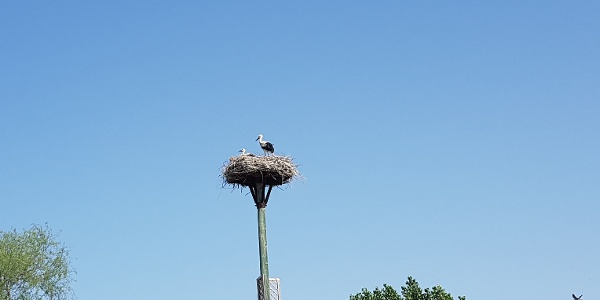 Les cigognes blanches