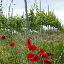 Mohnblumen am Weinberg bei Essenheim