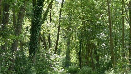 flacher schattiger Waldweg entlang der Selz