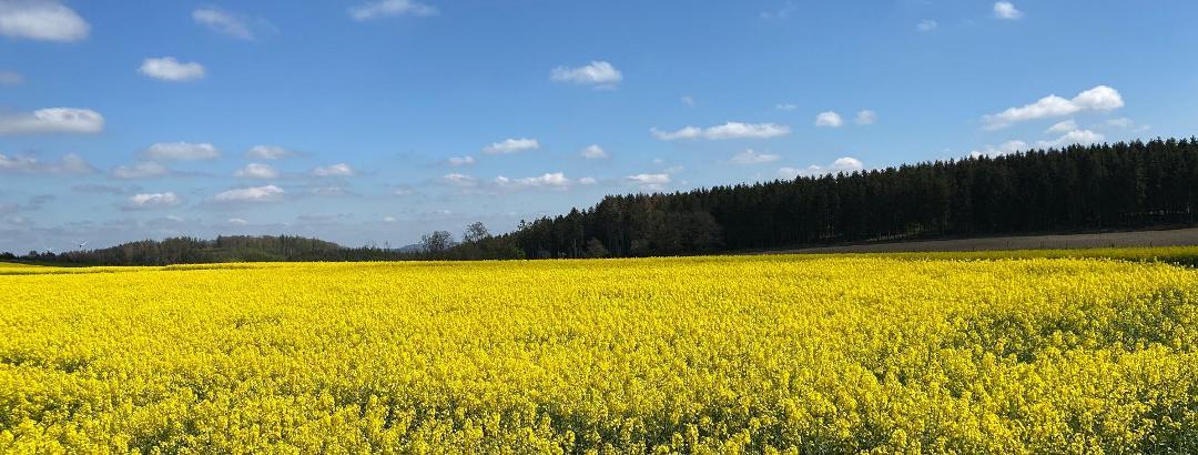 Rapsfeld bei Brilon