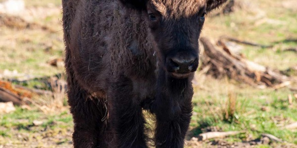 Wisent Quill
