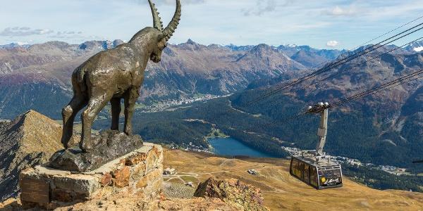Der Steinbock Guardia Grischun auf dem Piz Nair bewacht das Oberengadin