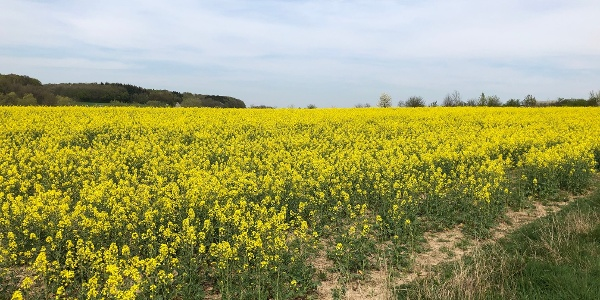 Rapsfeld zwischen Bitburg und Scharfbillig