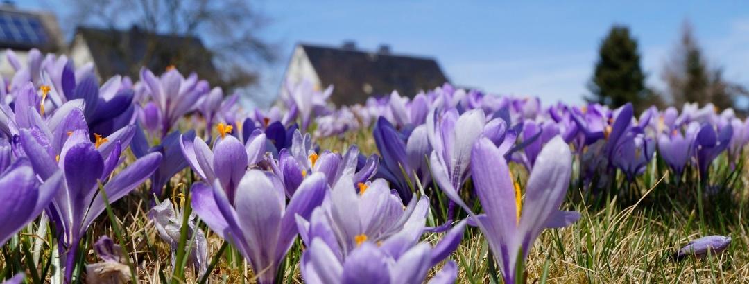 Krokusblüte im Frühjahr