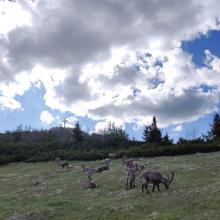Steinböcke und Gipfelkreuz