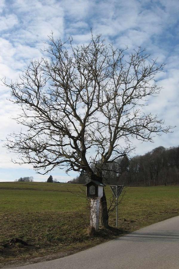 Kirschbaum bei Hendenham