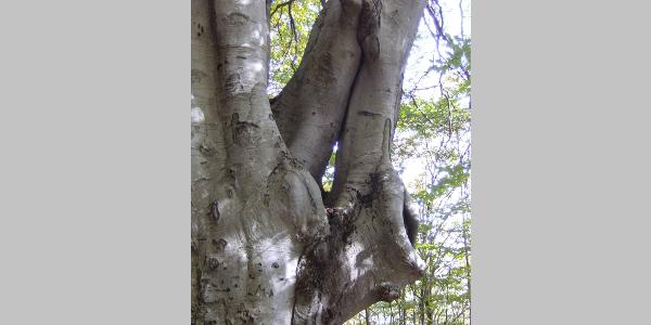 """Un faggio secolare con un """"occhio degli elfi"""", dato da due rami che ricrescono insieme, sul sentiero fra Mergugno e il Bosco Sacro."""