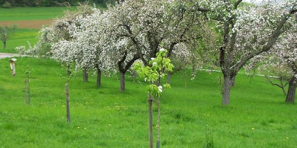 Hochzeitsbaumwiese
