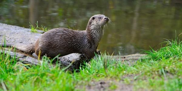 Otter im Freigehege im Otter-Zentrum Hankensbütttel