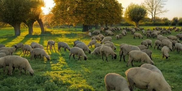 Schafherde im Herbst
