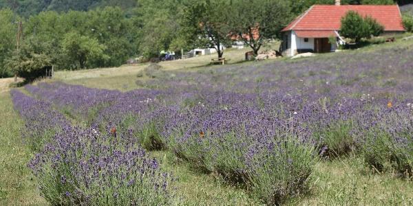 Magyar Provence Levendulabirtok (Monoszló)
