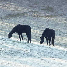 Genügsame Tiere, diese Pferde hier