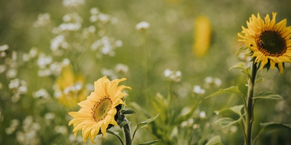 Sonnenblumen am Feld