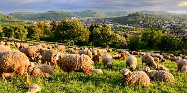 Schafe auf der Achalm, Reutlingen