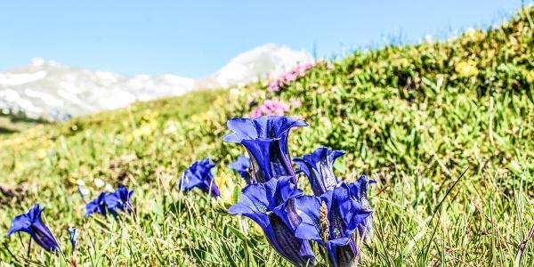 Bergblumenpfad Trübsee