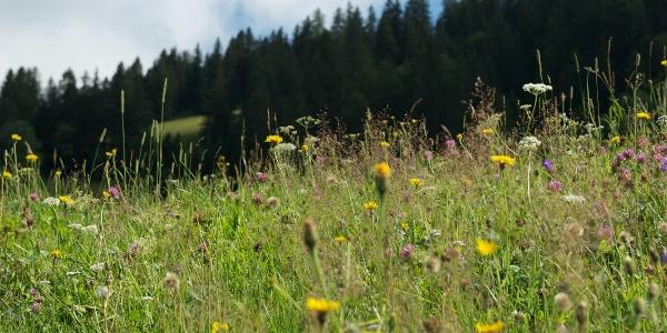 Blumenwiese auf Masescha