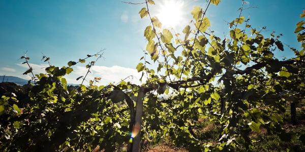 Wanderung durch die Weingärten