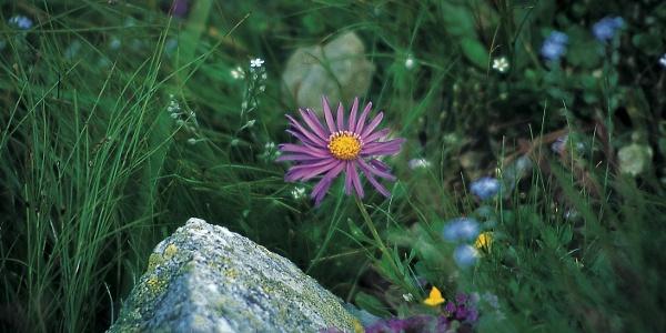 Die Alpen-Aster ist eine der Blumenarten am Mutegg.