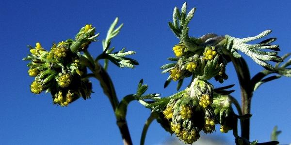 Die echte Edelraute (Artemisia muttelina) gedeiht an steilen Felsflanken und wird gerne als Heilkraut verwendet