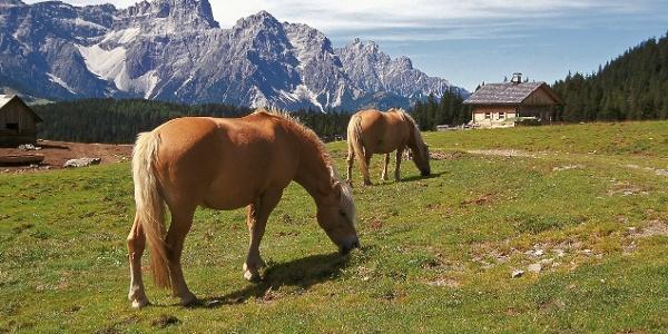 Pferde auf der Nemesalm gegen die Sextner Dolomiten.