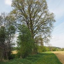 Stieleiche - Naturdenkmal