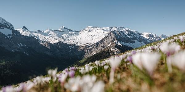 Bergfrühling TschentenAlp
