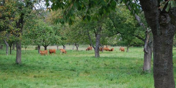 Highland Cattle unter Obstbäumen in Herschwiesen