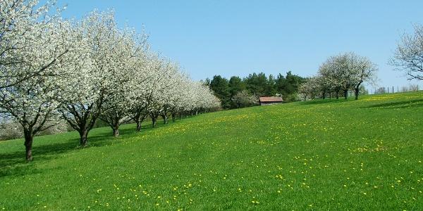 Kirschblüte Ende April