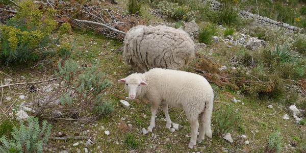 Schafe am Wegrand am Embassement de Cúber