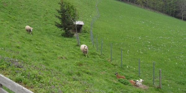 Schafe sind zu früher Stunde die einzigen, die auch schon wach sind.