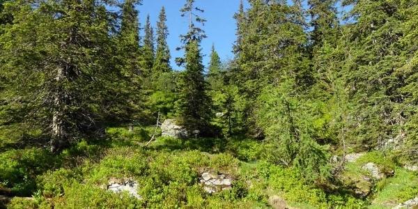 Der Weg auf die Goldbachscharte führt durch Latschenfelder und lichte Wälder.