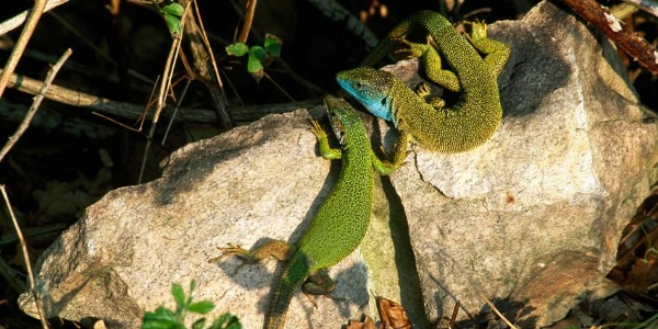 Smarageidechsen bei der Paarung