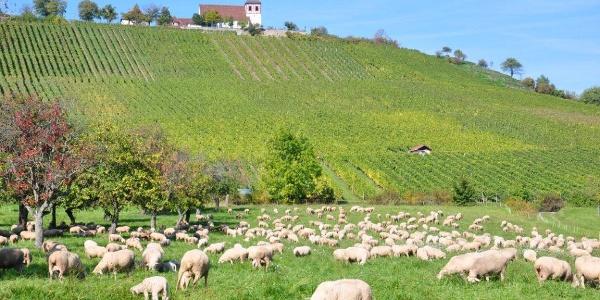 Natur-Kultur-Wein Erlebnispfad am Michaelsberg   Zabergäu - HeilbronnerLand