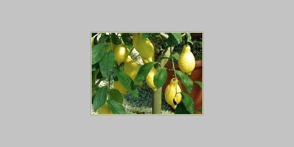 Der Zitrusgarten Ceron