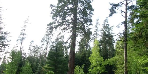 Friedensbaum
