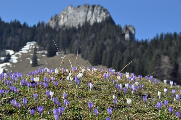 Zur Krokusblüte im Frühjahr
