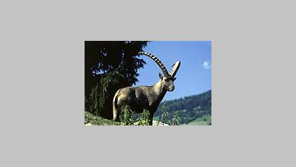 Alpenwildpark im Sommer